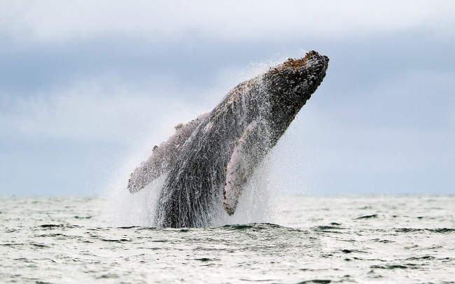 humpback whale leaping out of the ocean
